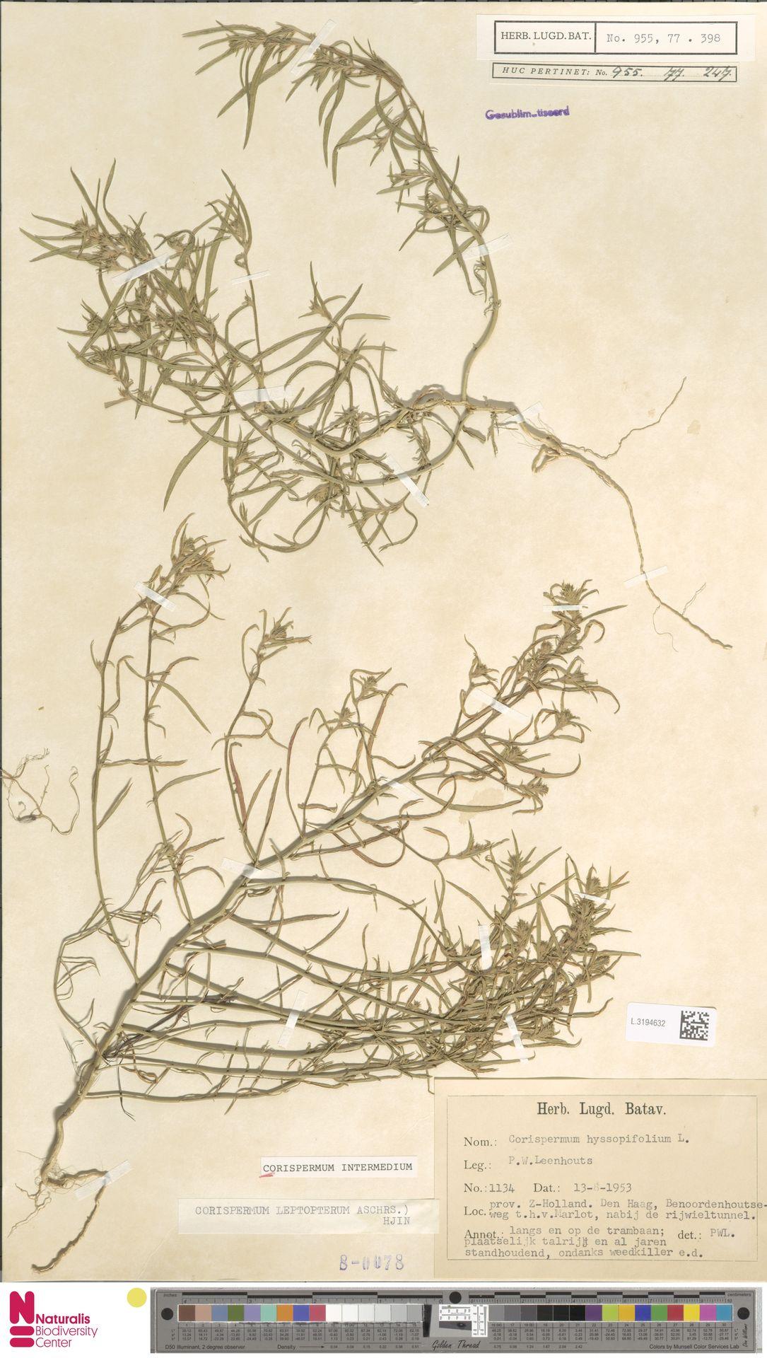 L.3194632 | Corispermum intermedium Schweigg.