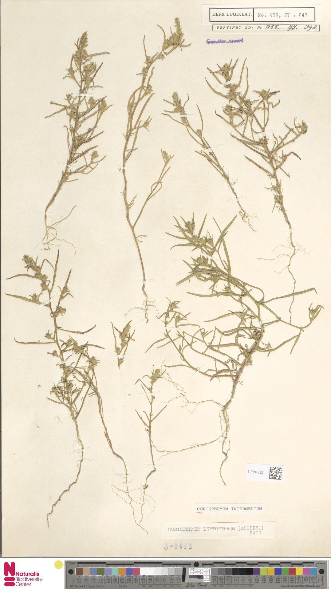 L.3194633 | Corispermum intermedium Schweigg.