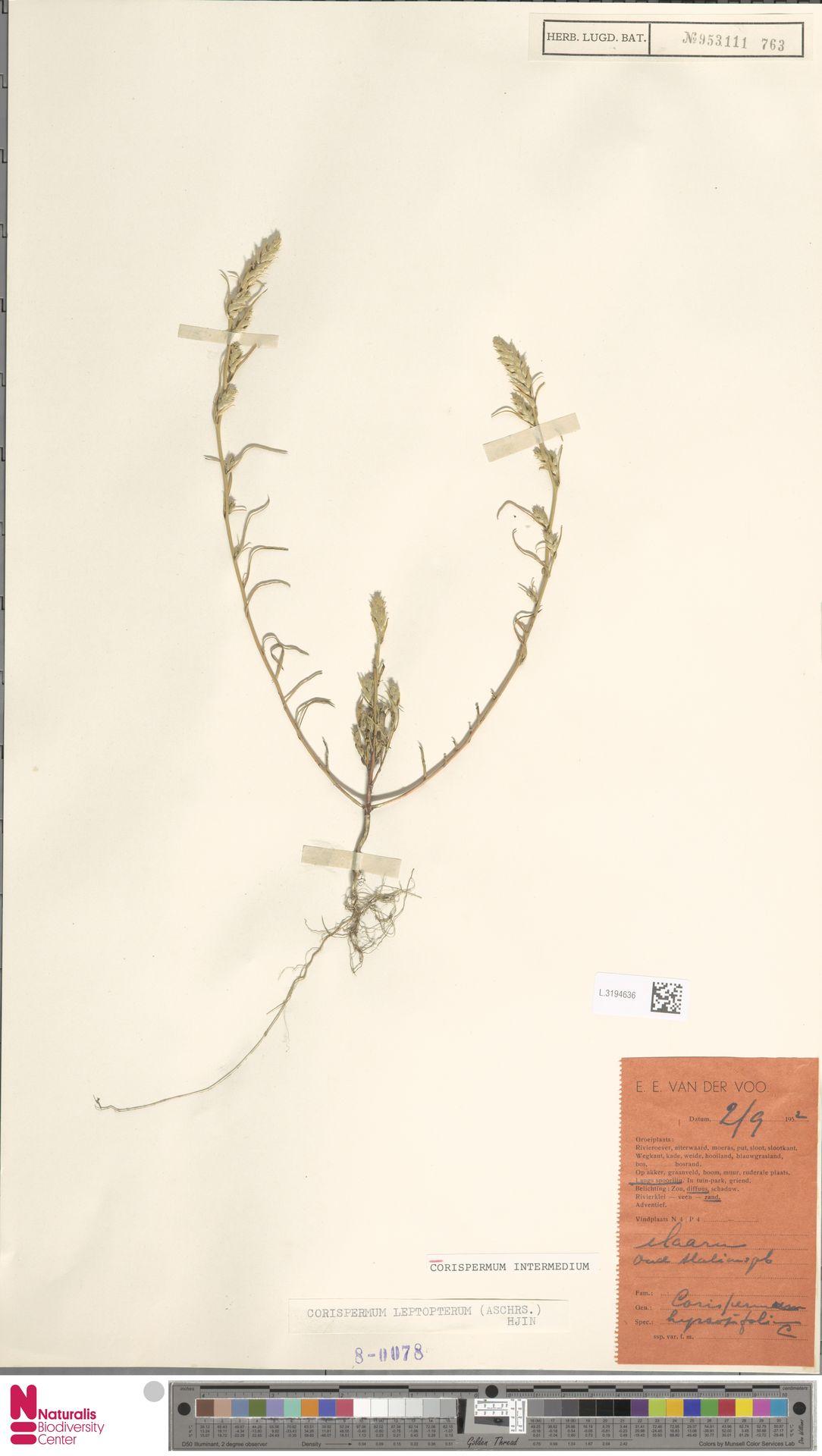 L.3194636 | Corispermum intermedium Schweigg.