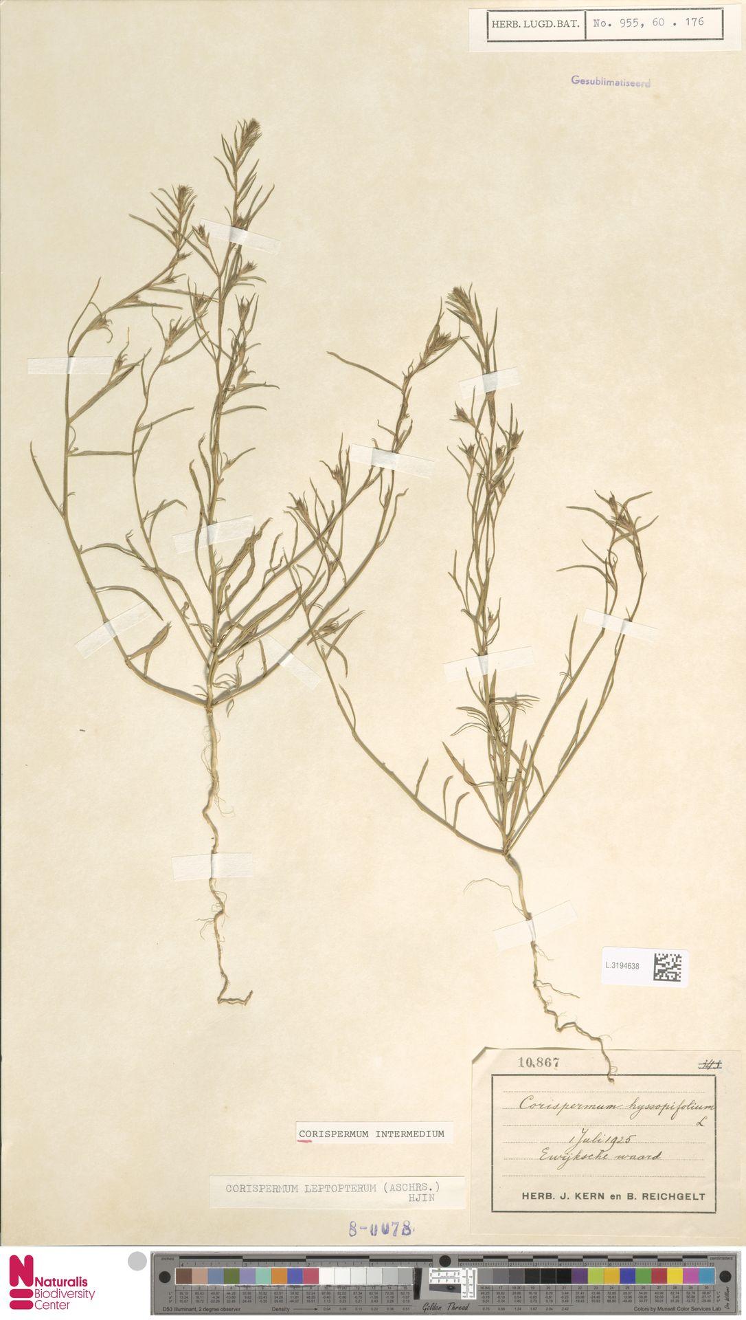 L.3194638 | Corispermum intermedium Schweigg.