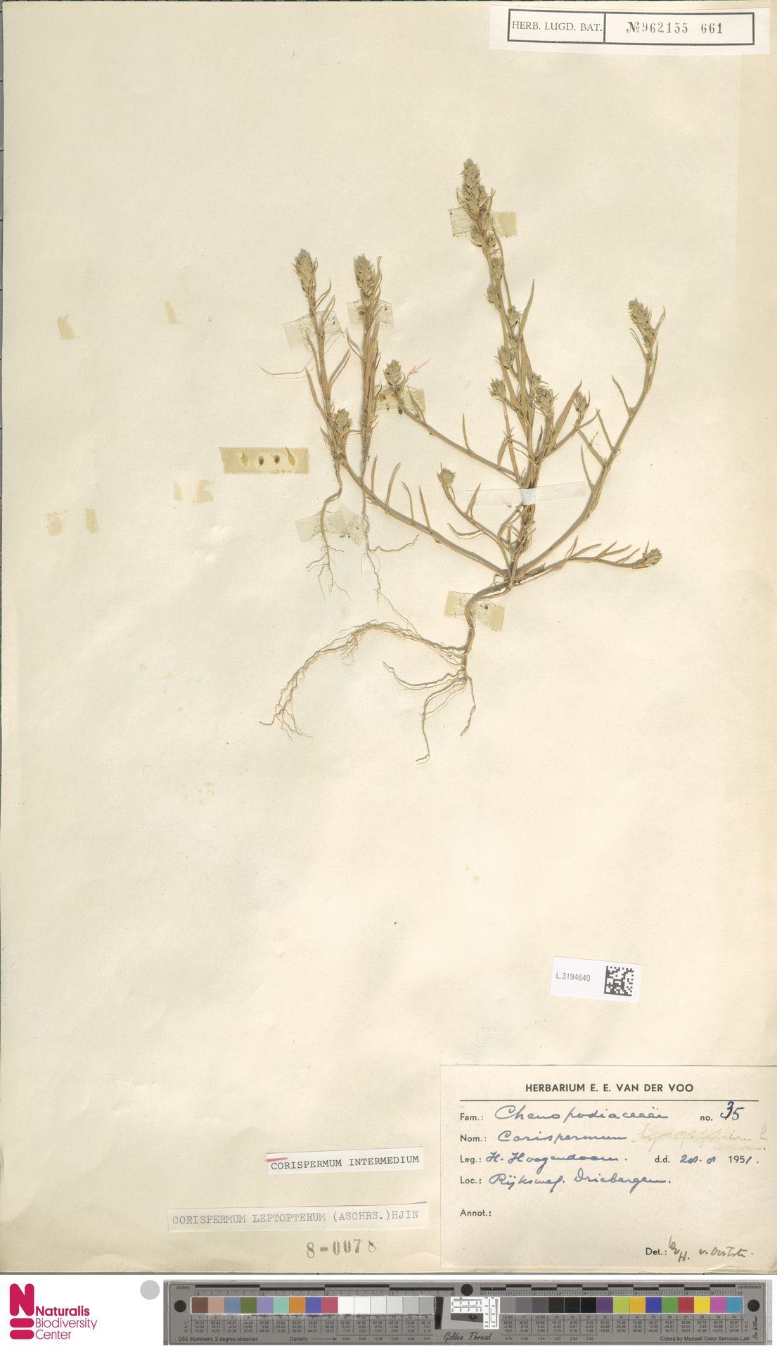 L.3194640 | Corispermum intermedium Schweigg.