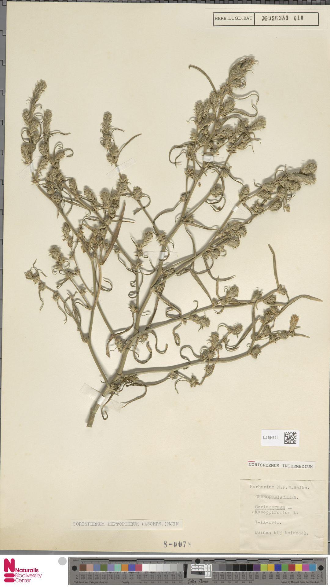 L.3194641 | Corispermum intermedium Schweigg.