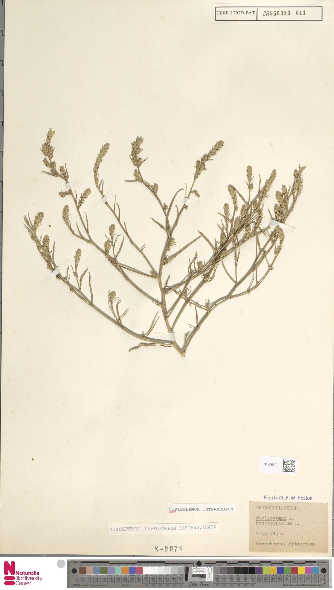 L.3194642   Corispermum intermedium Schweigg.