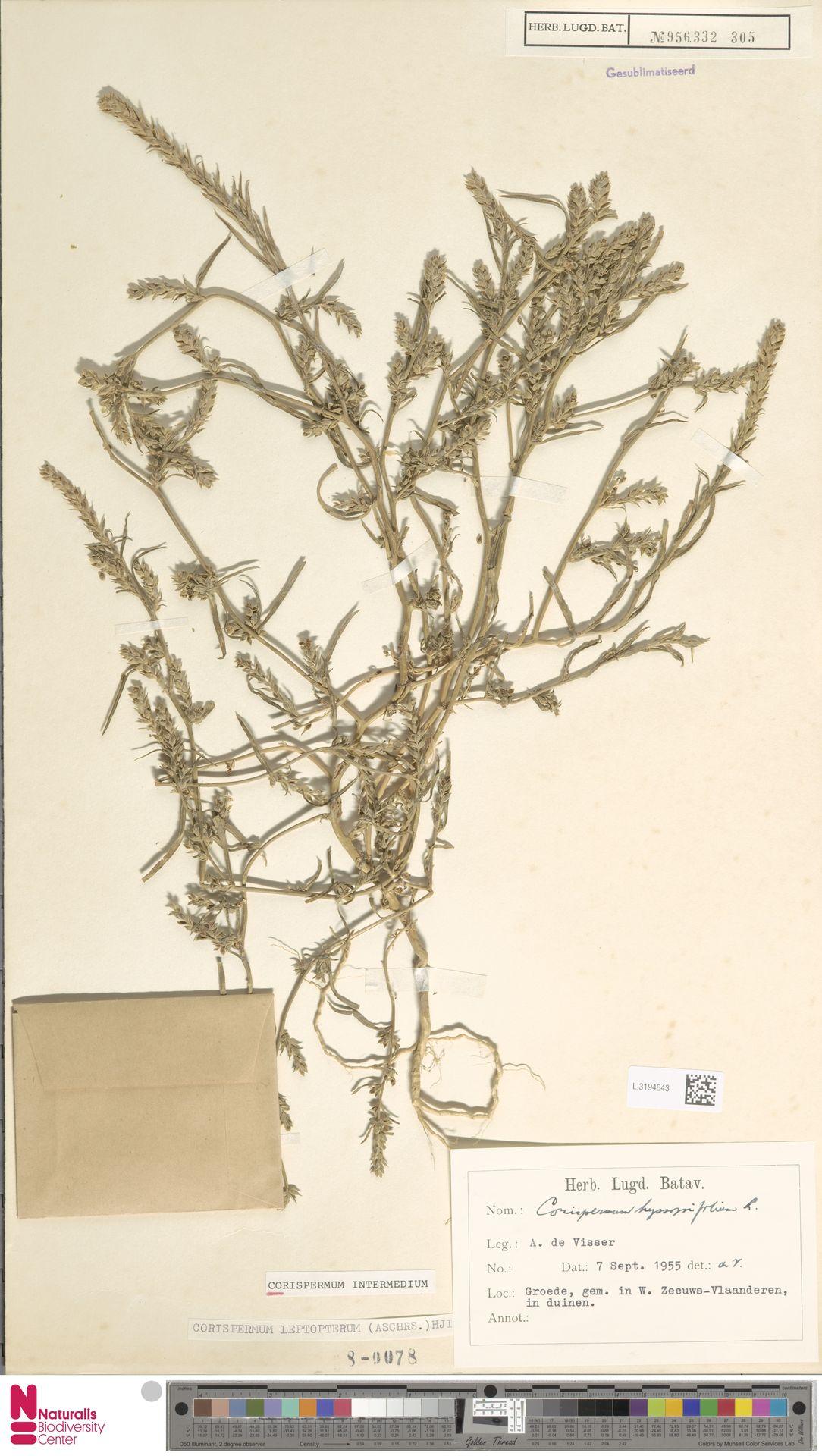 L.3194643 | Corispermum intermedium Schweigg.
