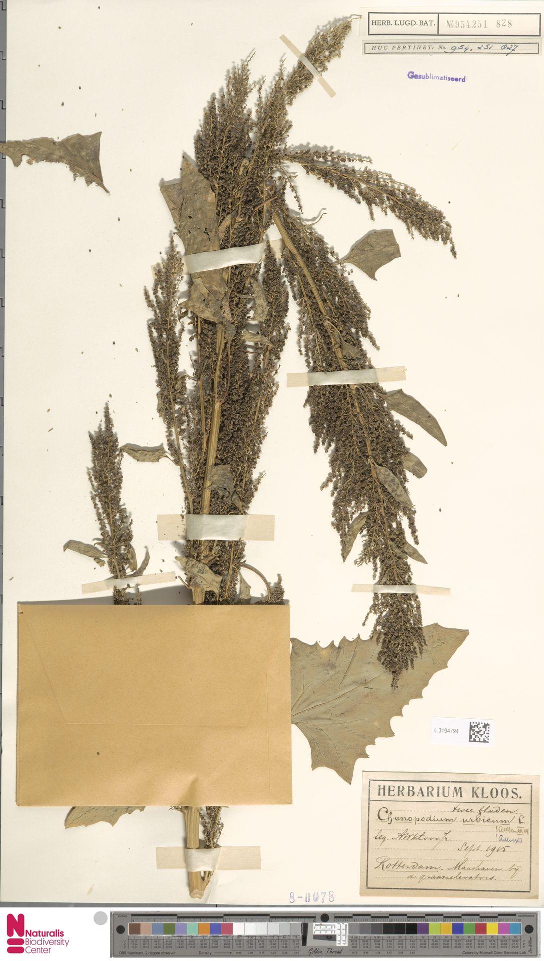 L.3194794 | Chenopodium urbicum L.