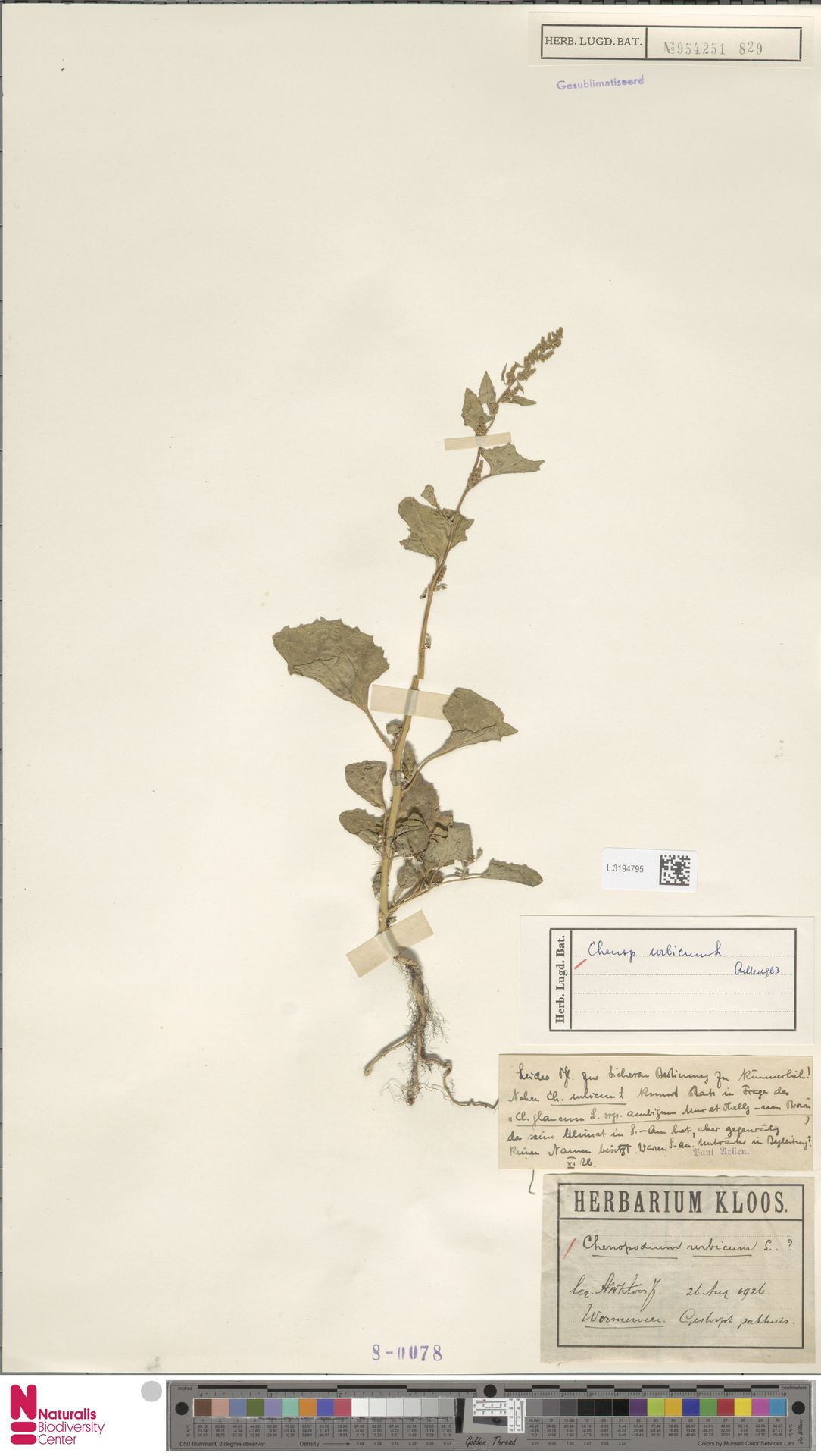 L.3194795 | Chenopodium urbicum L.
