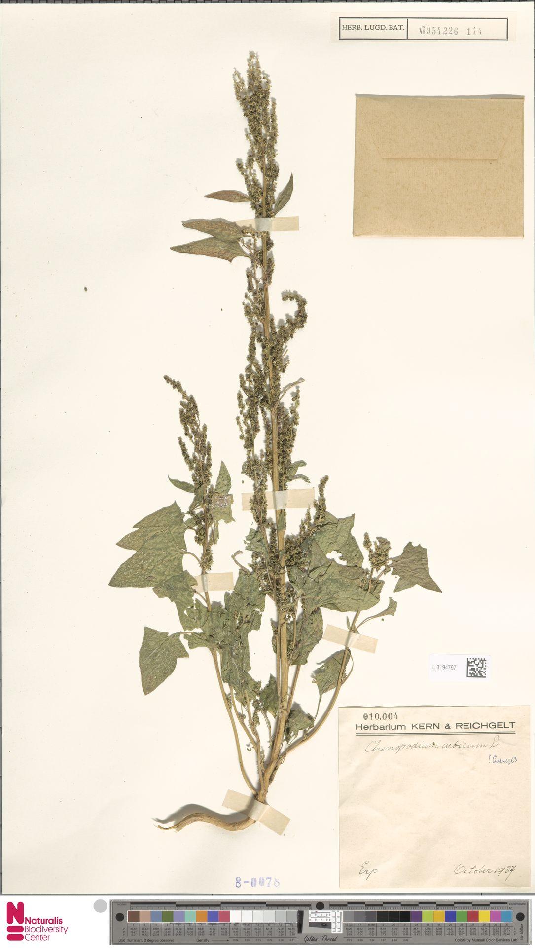 L.3194797   Chenopodium urbicum L.