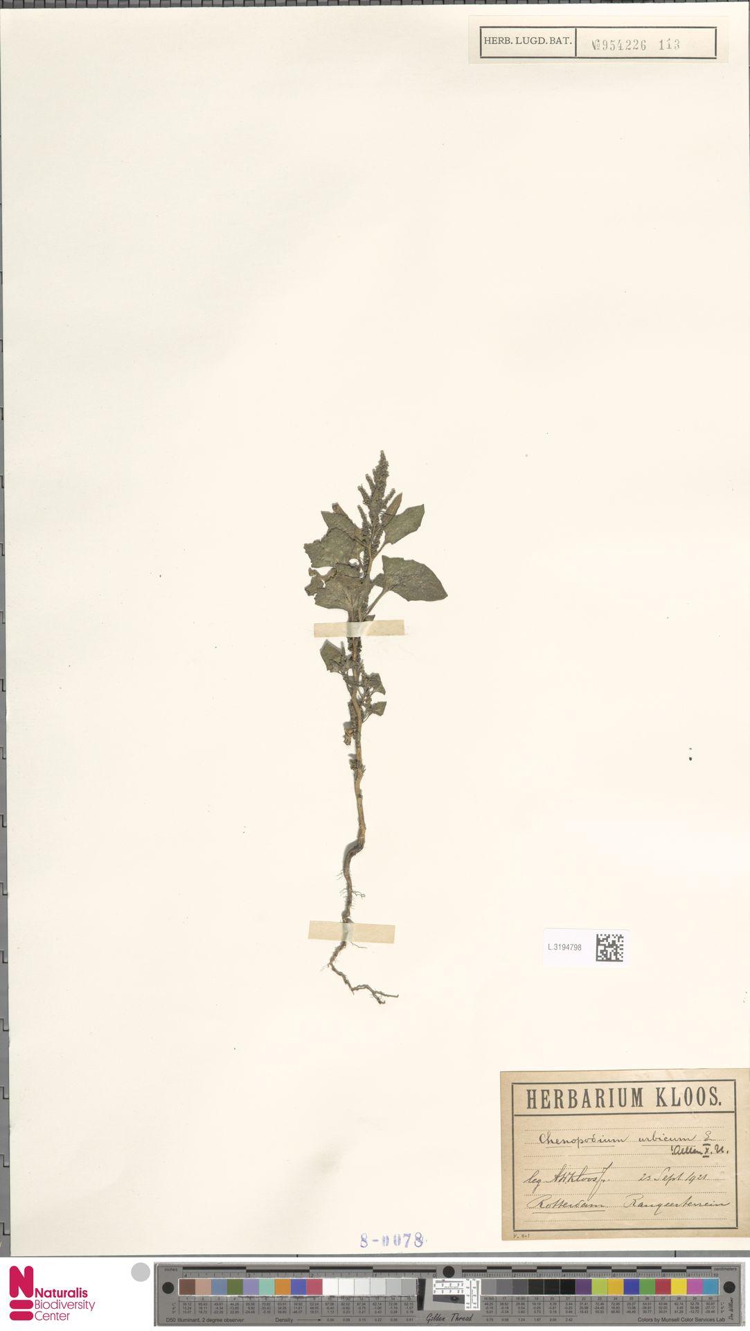 L.3194798 | Chenopodium urbicum L.