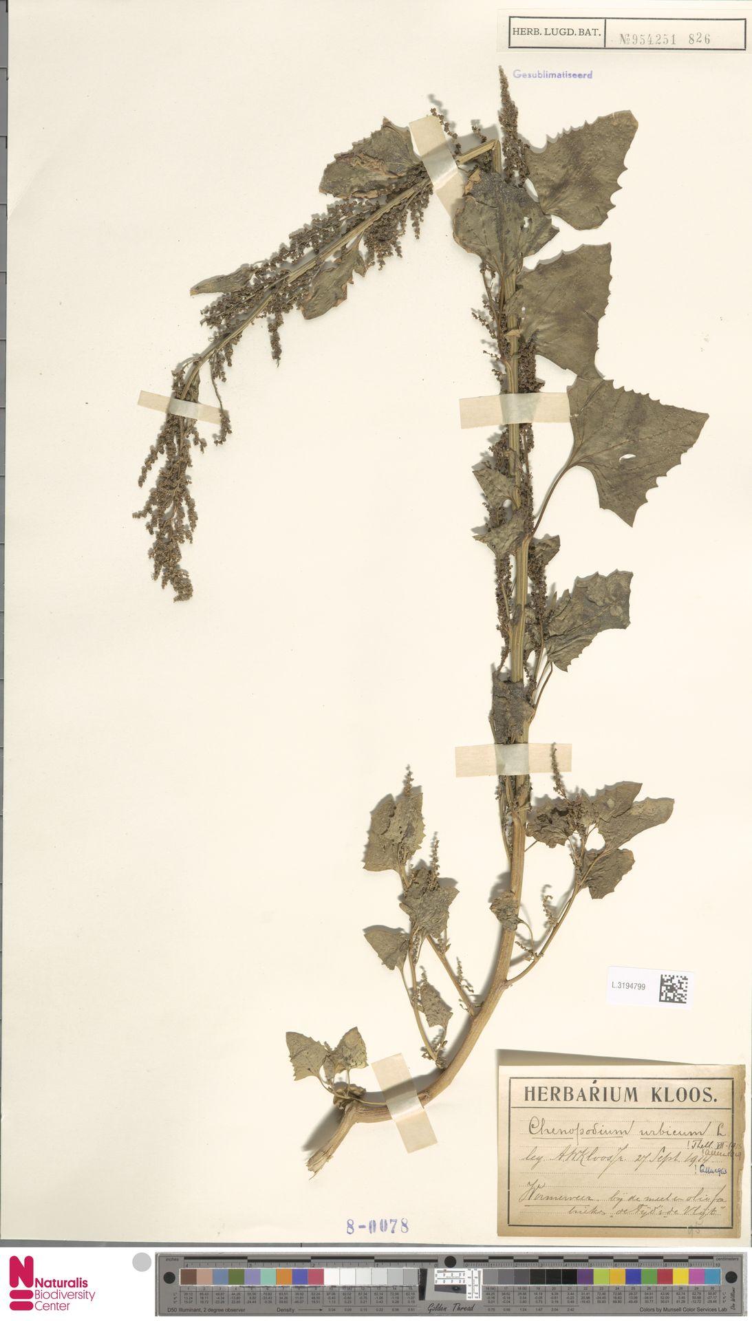L.3194799 | Chenopodium urbicum L.