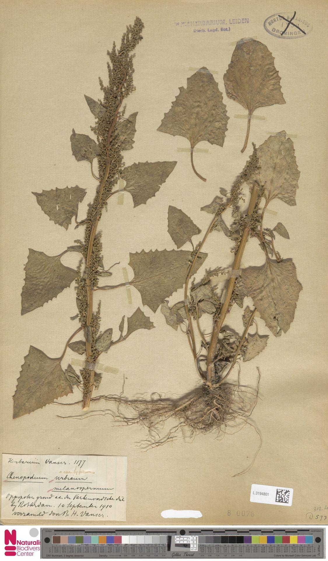 L.3194801 | Chenopodium urbicum L.
