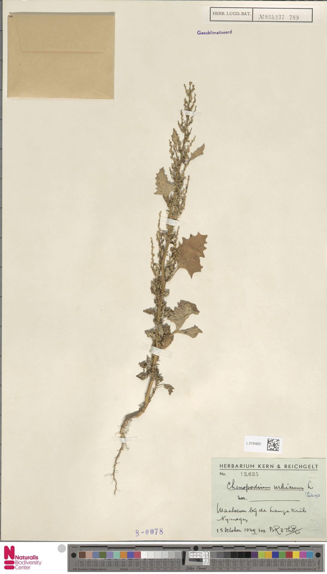 L.3194802 | Chenopodium urbicum L.