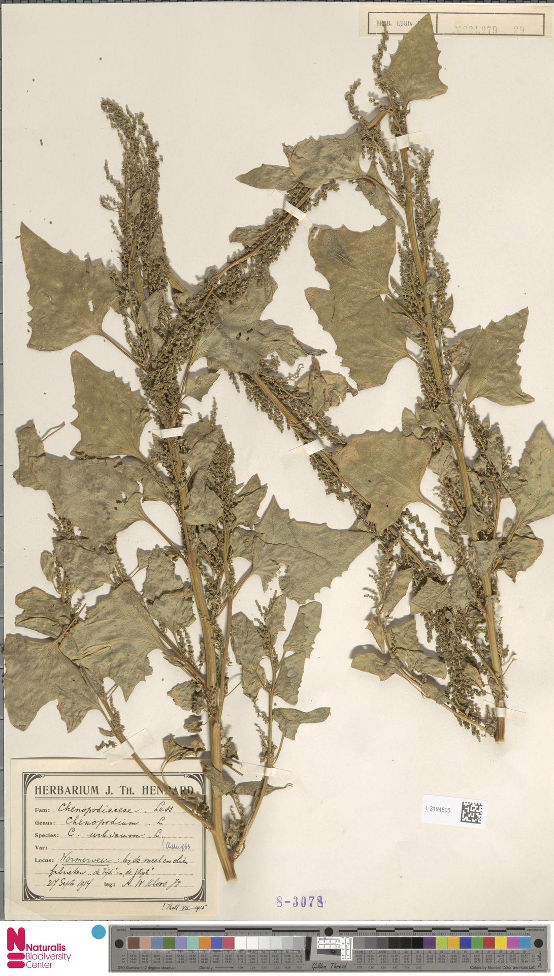 L.3194805 | Chenopodium urbicum L.