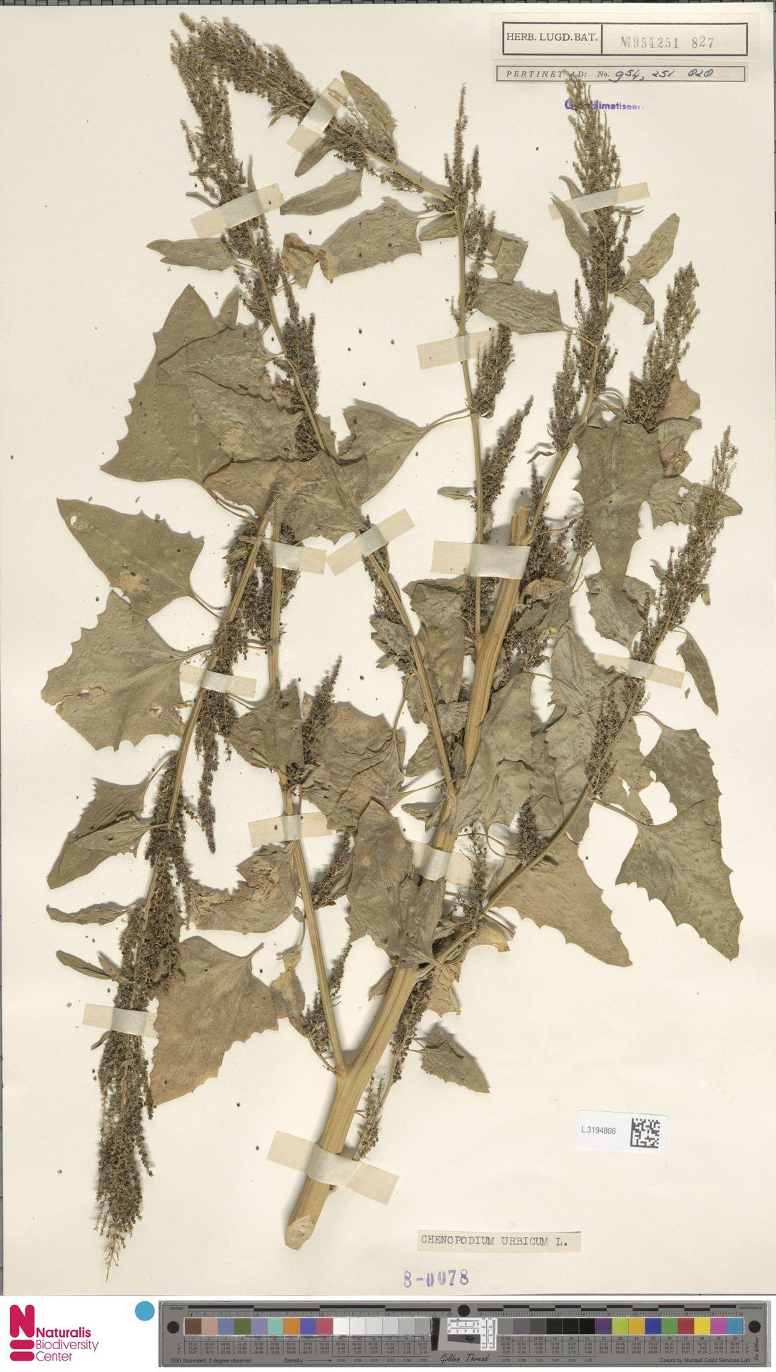 L.3194806   Chenopodium urbicum L.