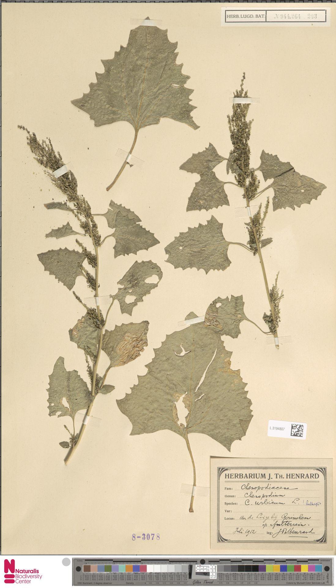 L.3194807 | Chenopodium urbicum L.