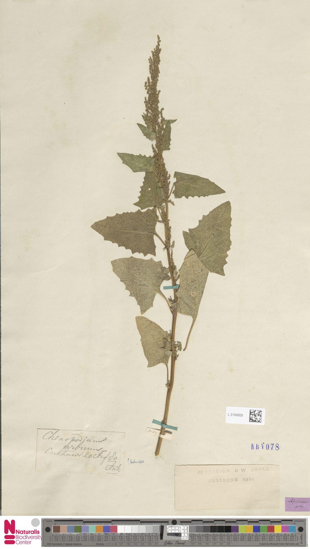 L.3194809 | Chenopodium urbicum L.