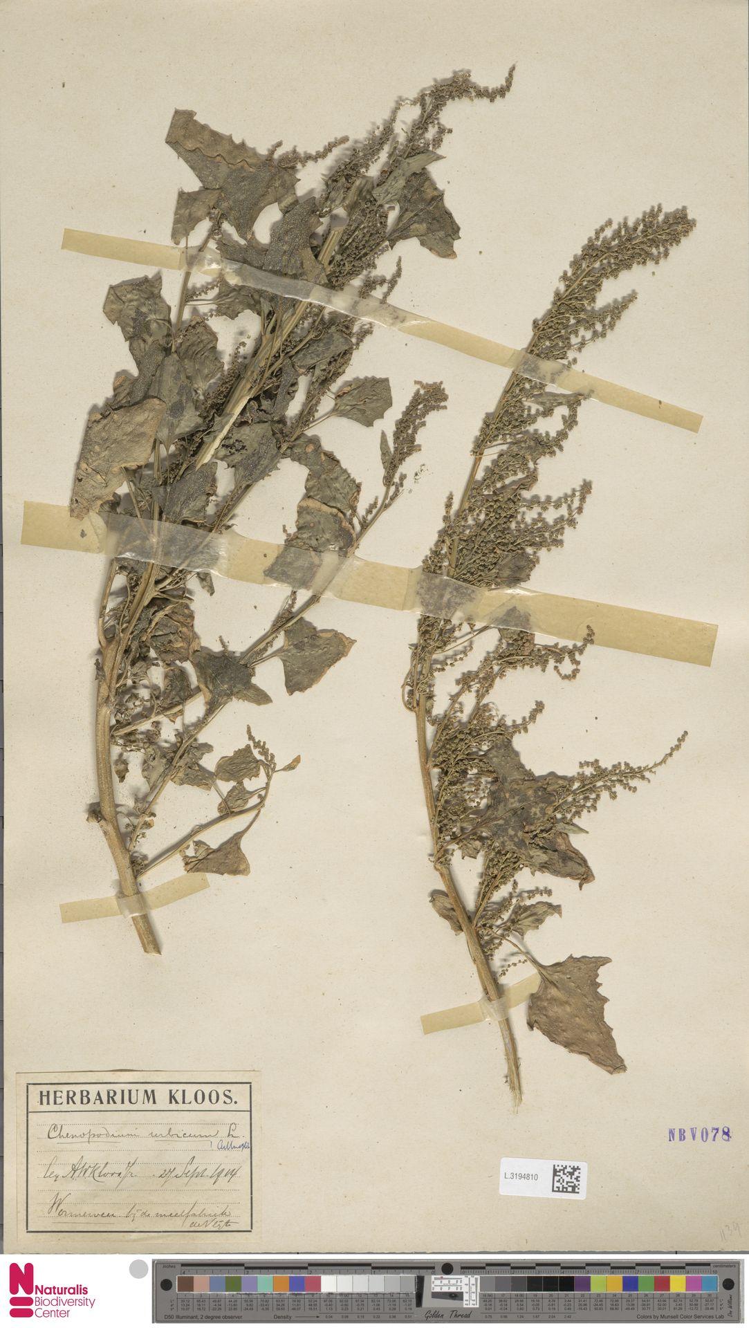 L.3194810 | Chenopodium urbicum L.