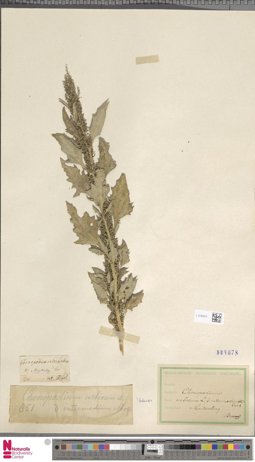 L.3194812 | Chenopodium urbicum L.