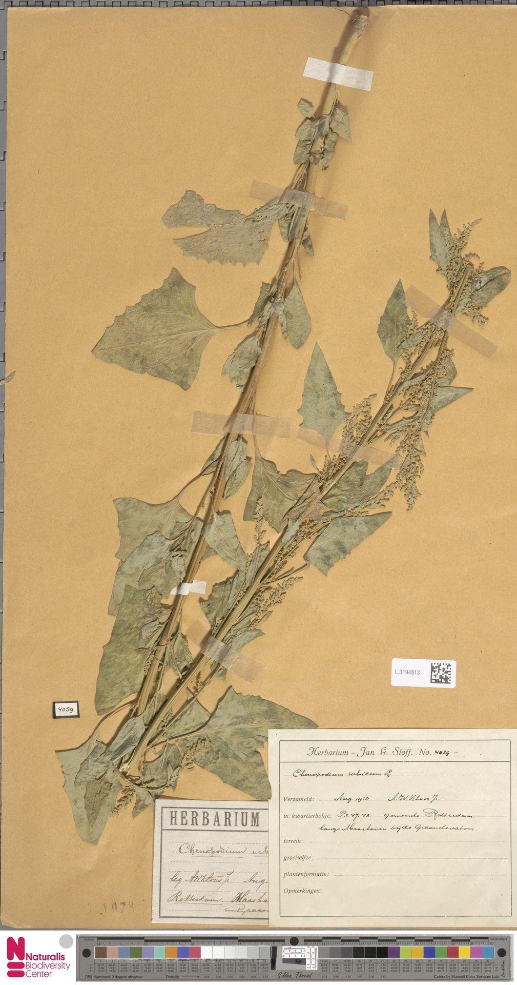 L.3194813 | Chenopodium urbicum L.