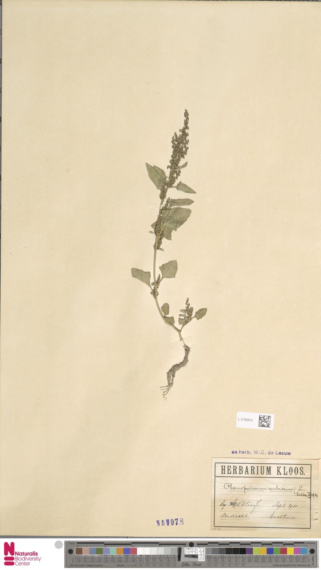 L.3194814 | Chenopodium urbicum L.