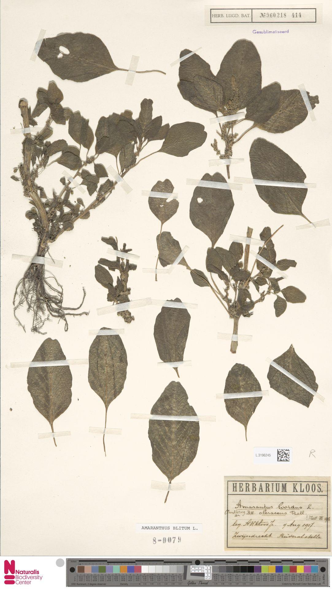 L.3196245 | Amaranthus blitum L.