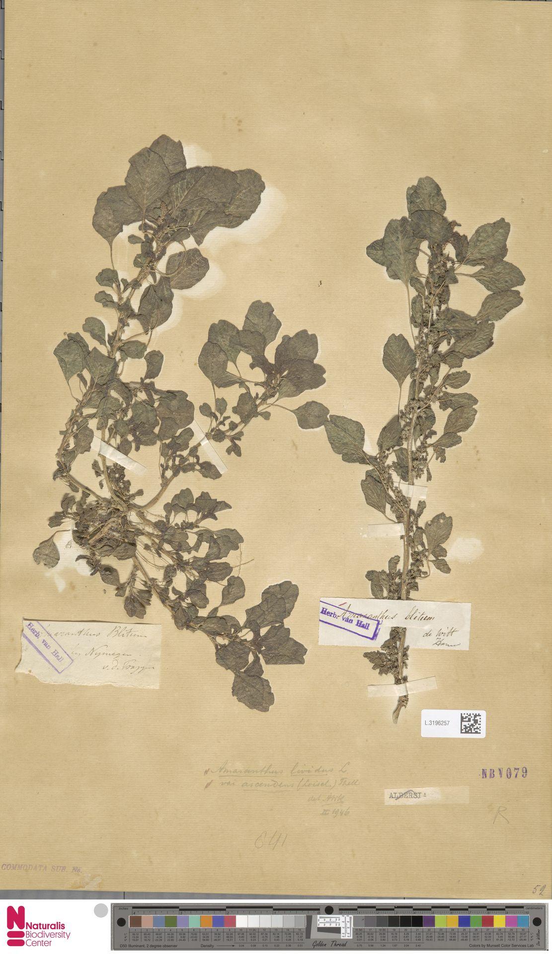 L.3196257 | Amaranthus blitum L.