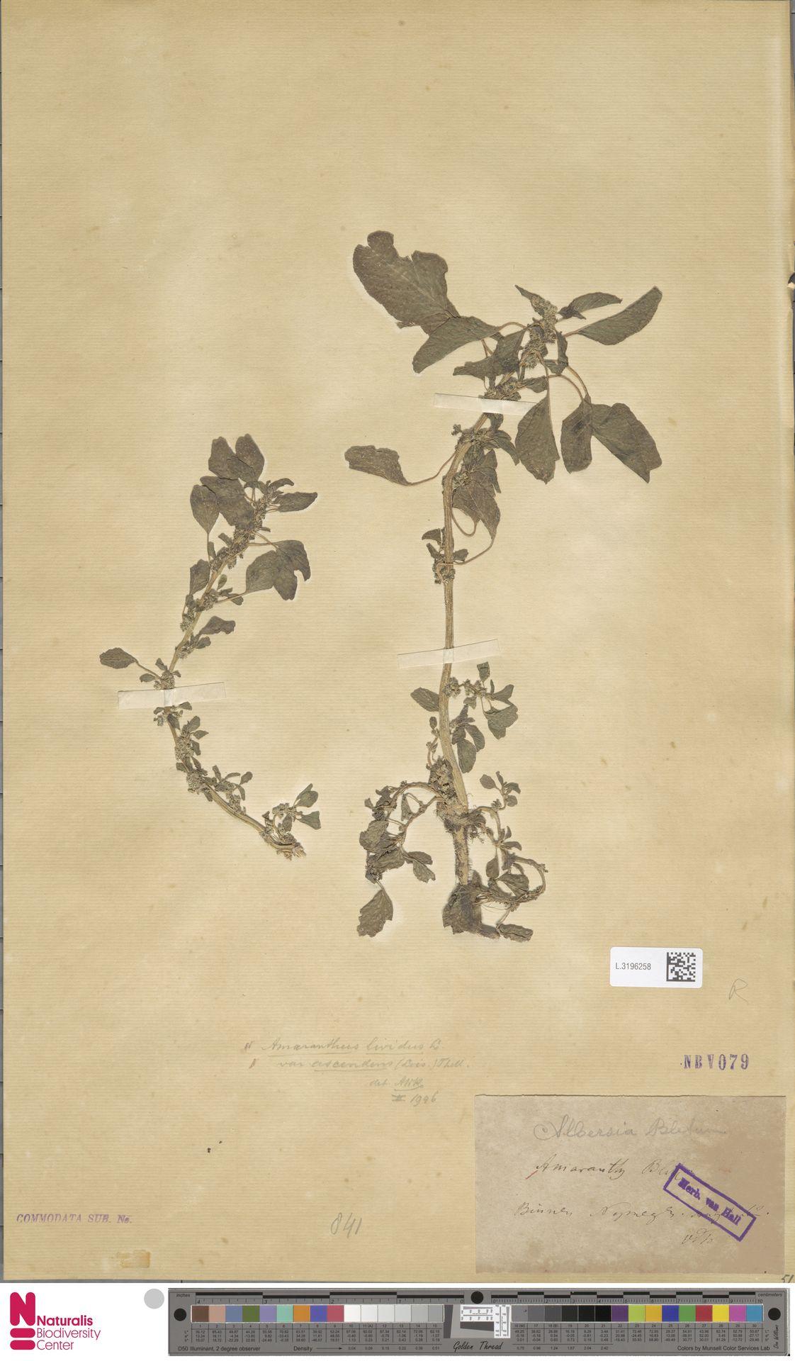L.3196258   Amaranthus blitum L.