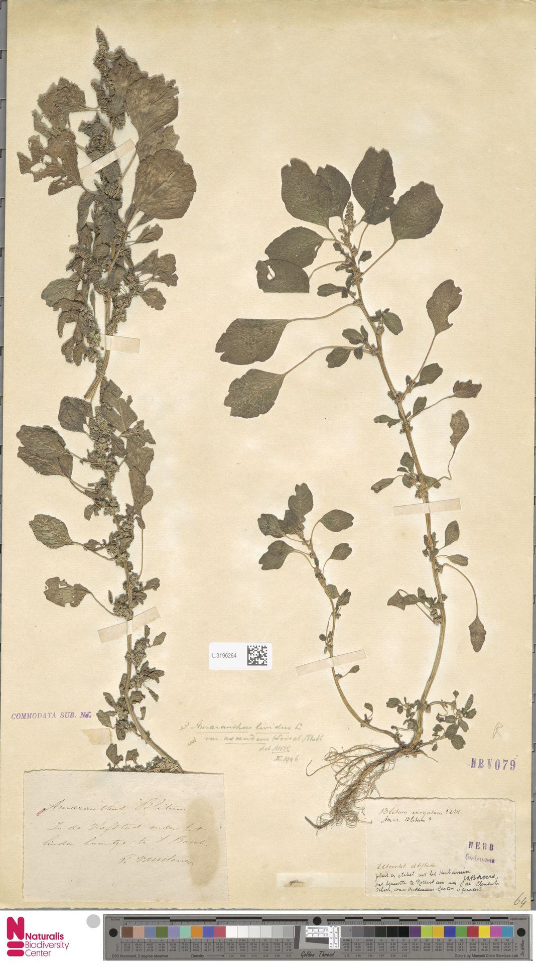 L.3196264 | Amaranthus blitum L.