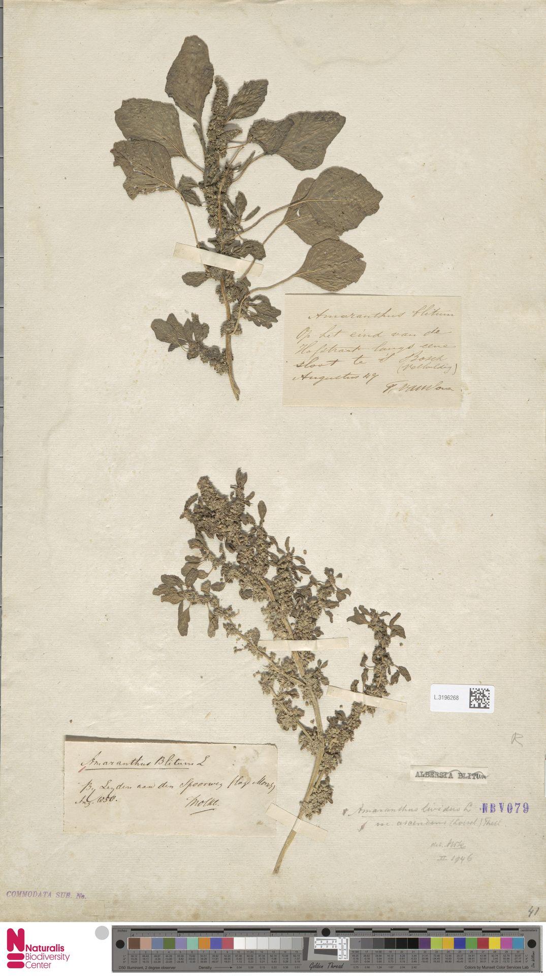 L.3196268   Amaranthus blitum L.