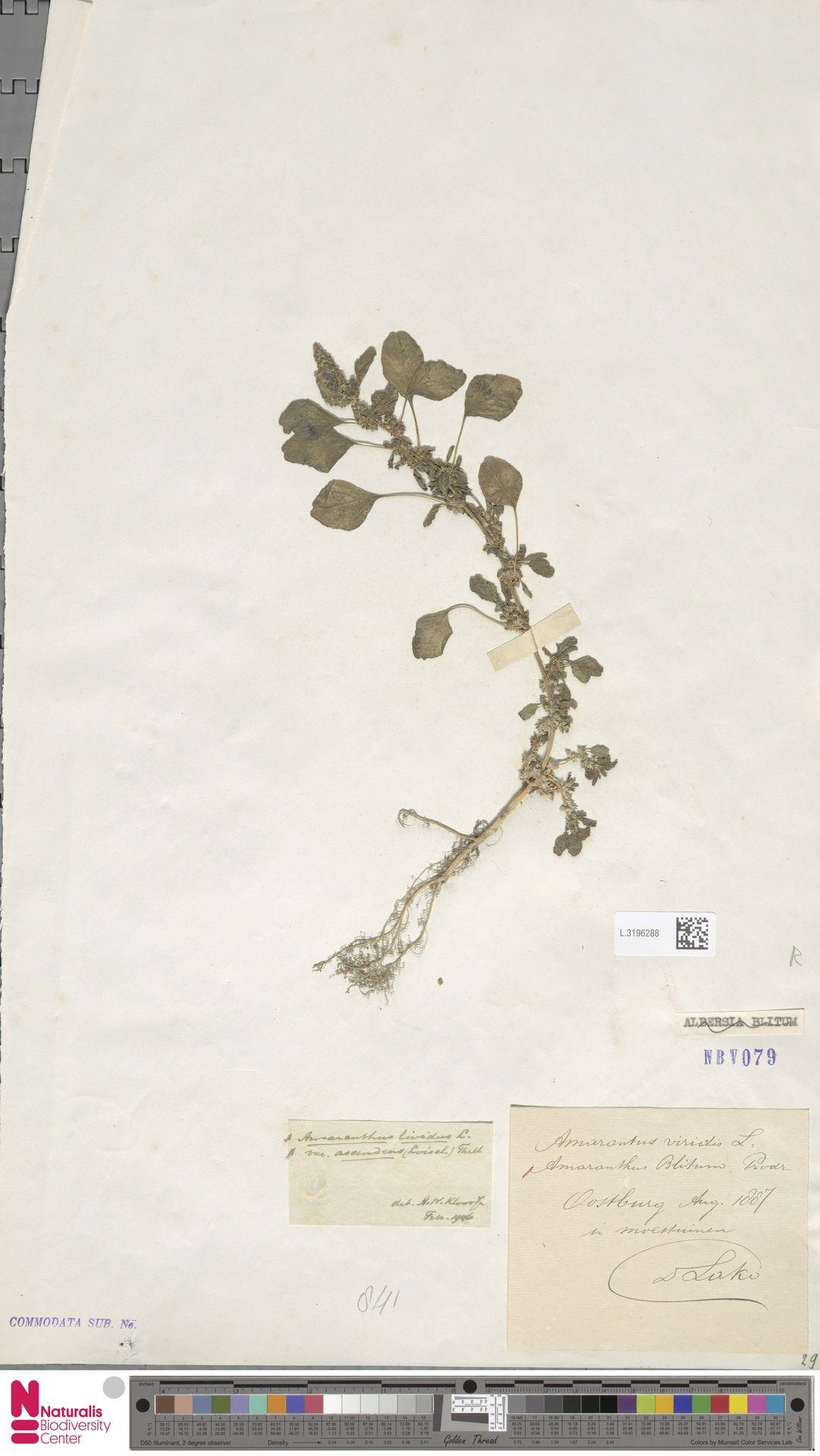 L.3196288 | Amaranthus blitum L.