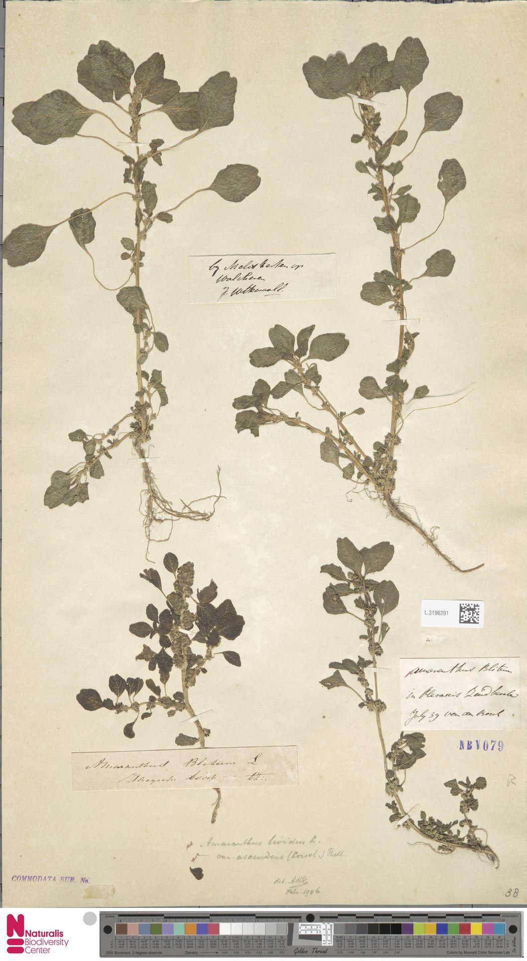 L.3196291 | Amaranthus blitum L.