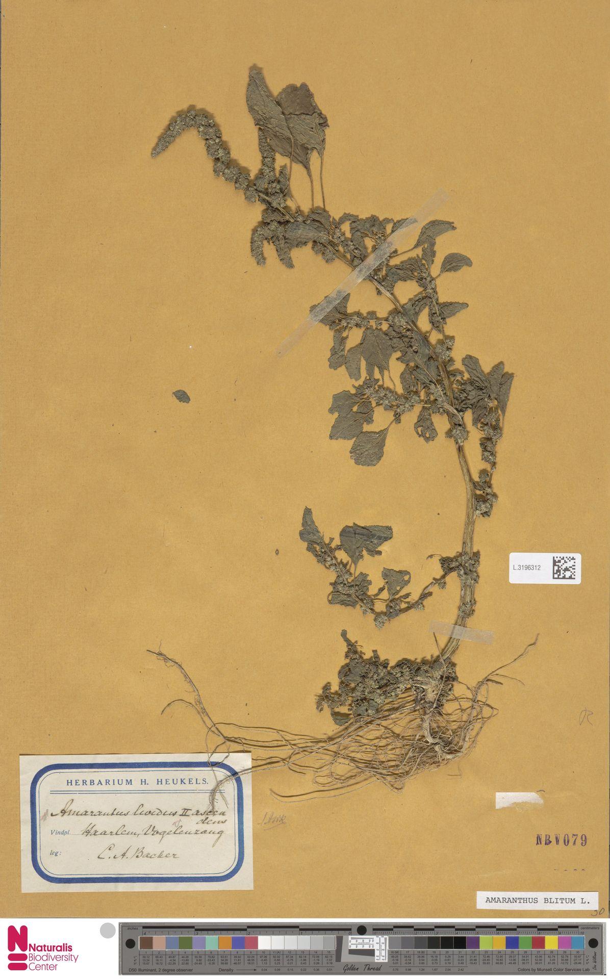 L.3196312 | Amaranthus blitum L.