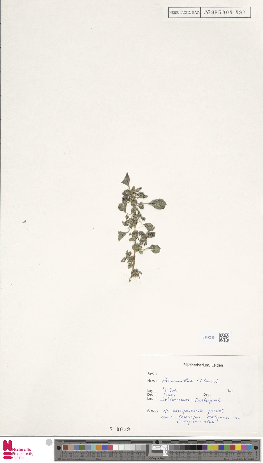 L.3196343 | Amaranthus blitum L.