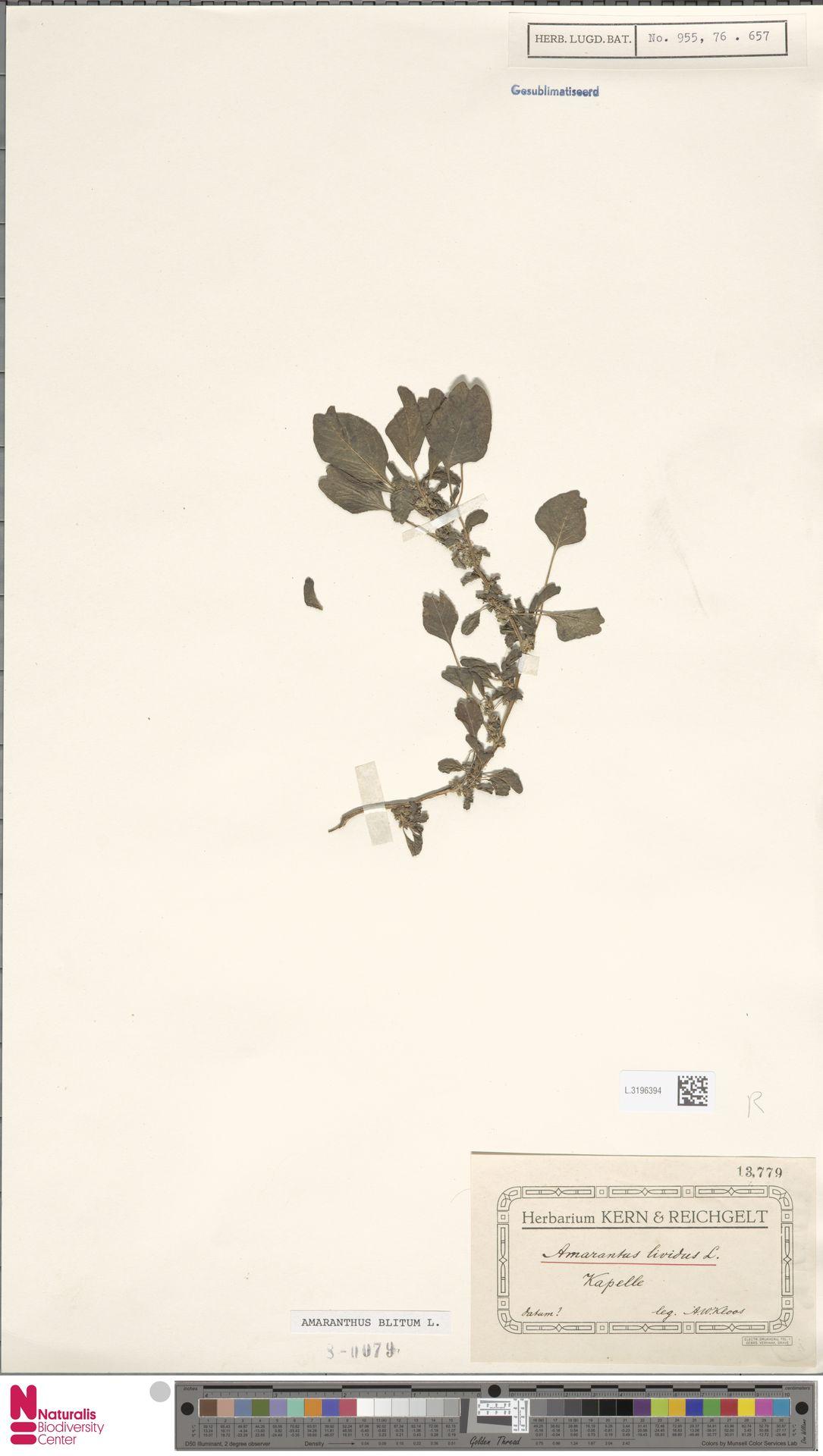 L.3196394 | Amaranthus blitum L.