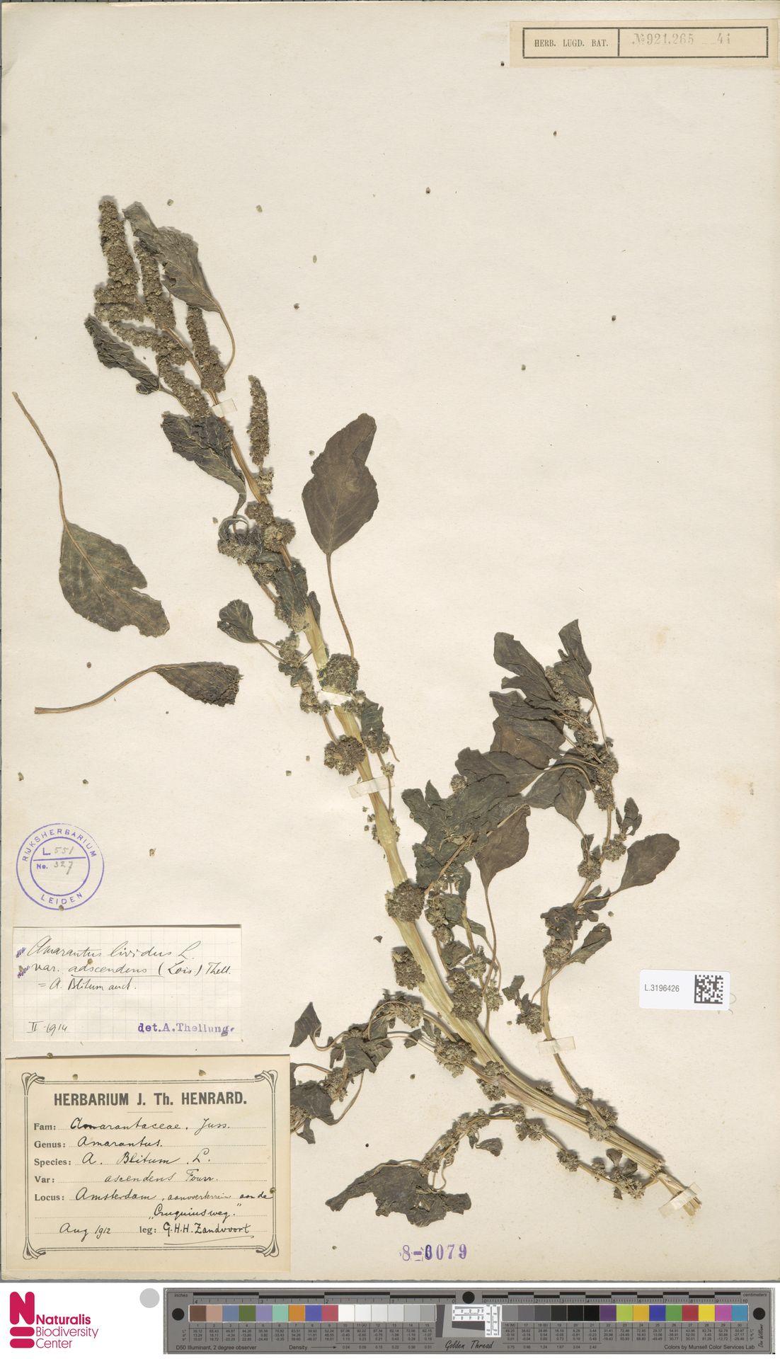 L.3196426 | Amaranthus blitum L.