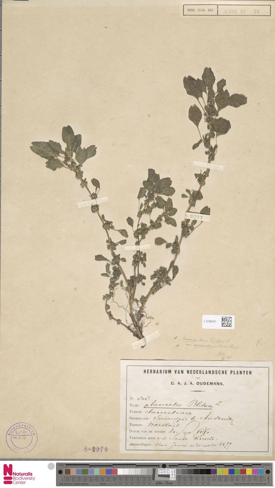 L.3196431   Amaranthus blitum L.