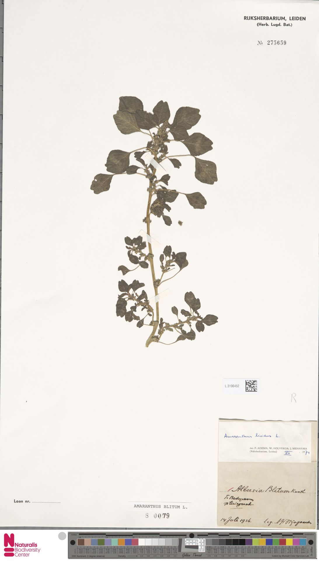 L.3196452   Amaranthus blitum L.