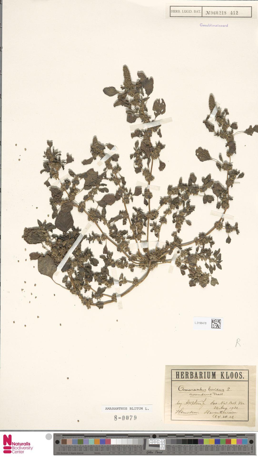 L.3196478 | Amaranthus blitum L.