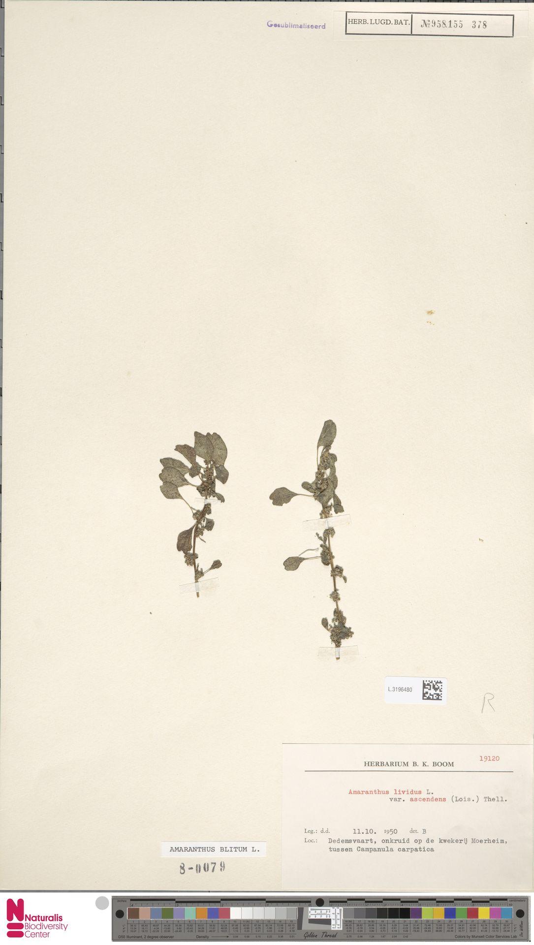 L.3196480 | Amaranthus blitum L.