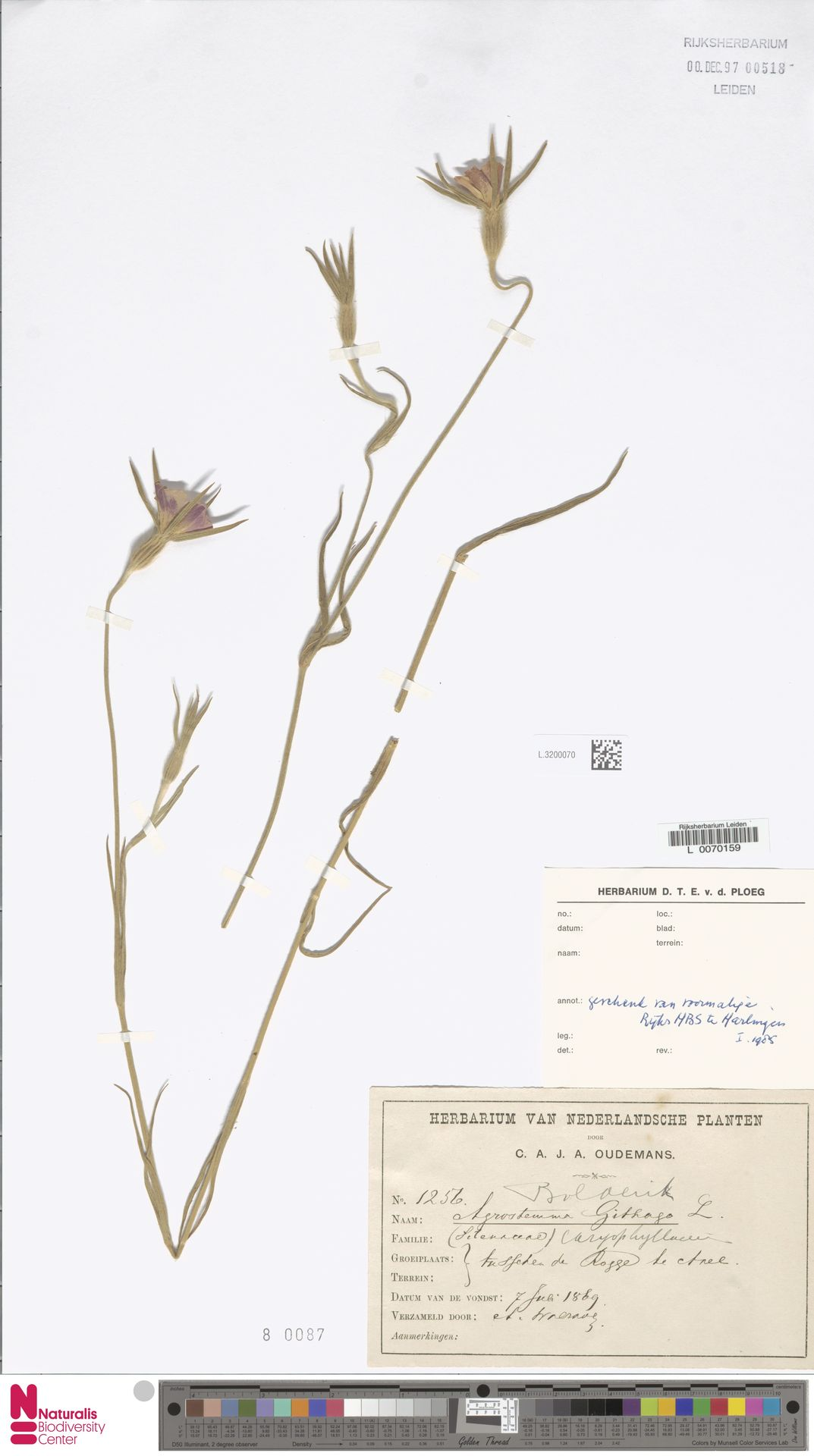 L.3200070 | Agrostemma githago L.
