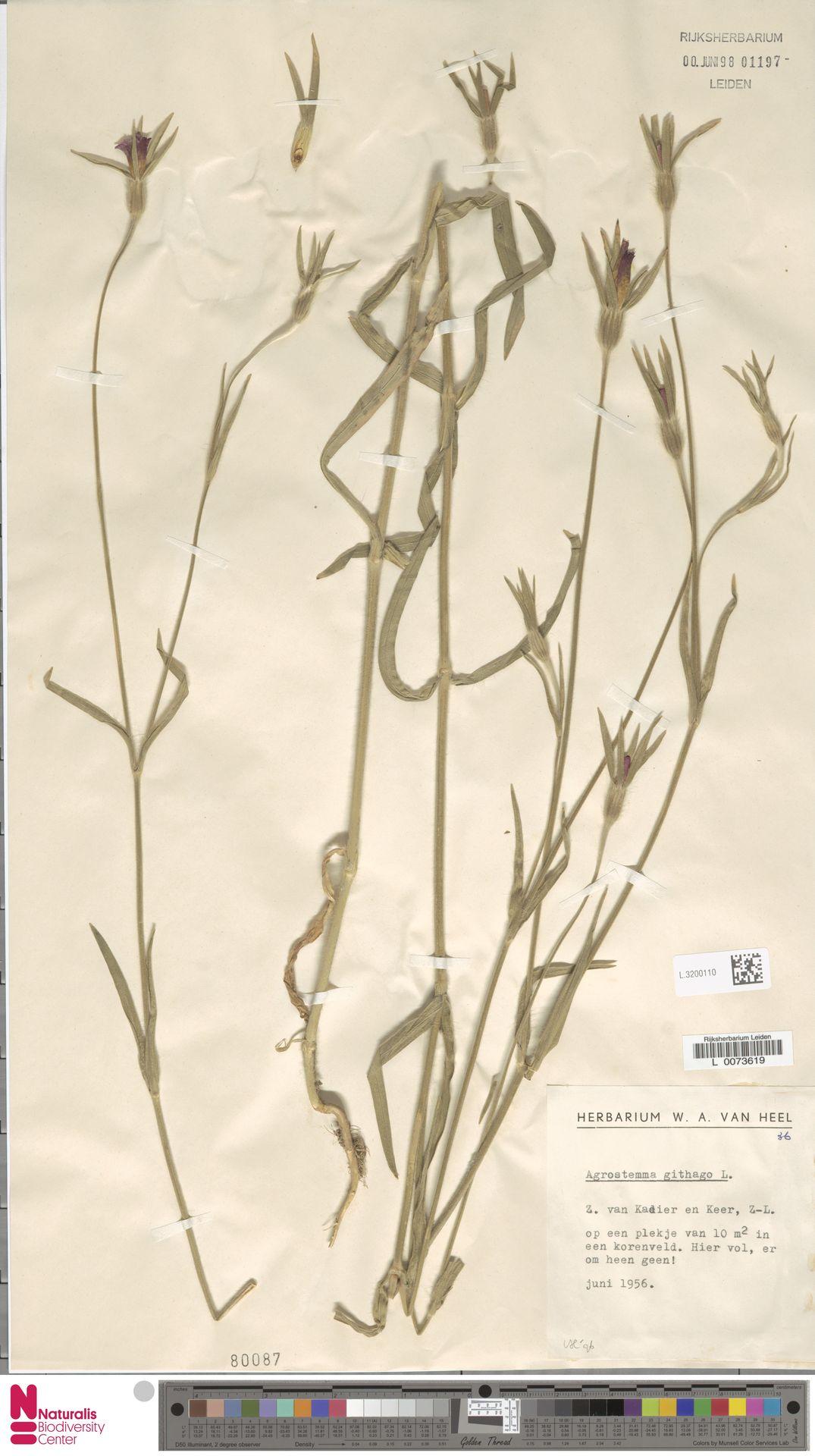 L.3200110 | Agrostemma githago L.