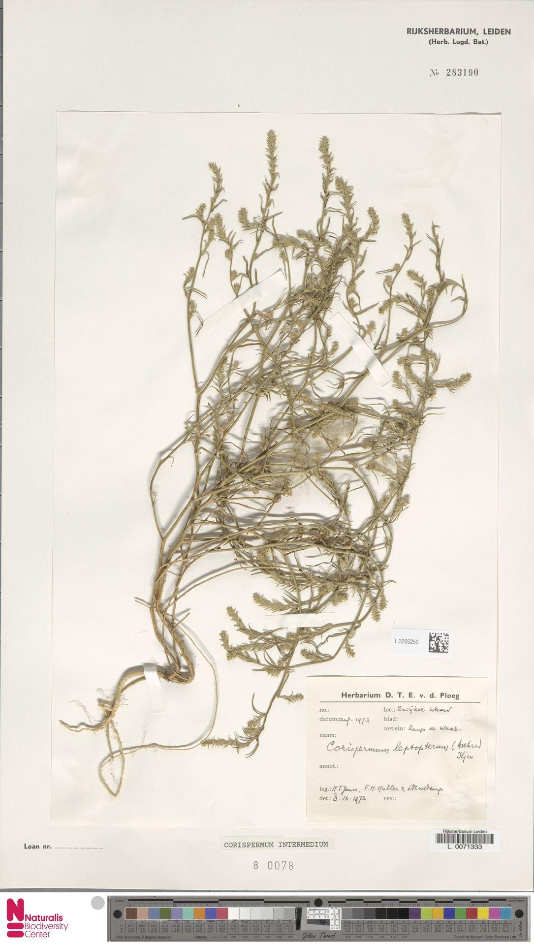 L.3205250 | Corispermum intermedium Schweigg.