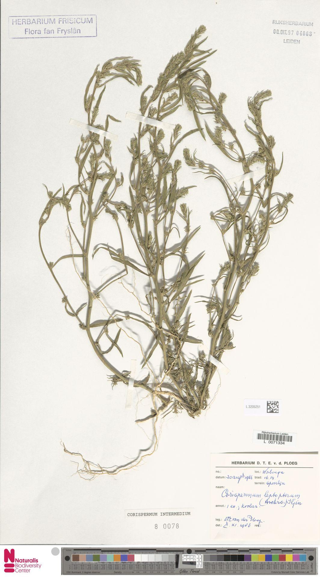 L.3205251 | Corispermum intermedium Schweigg.