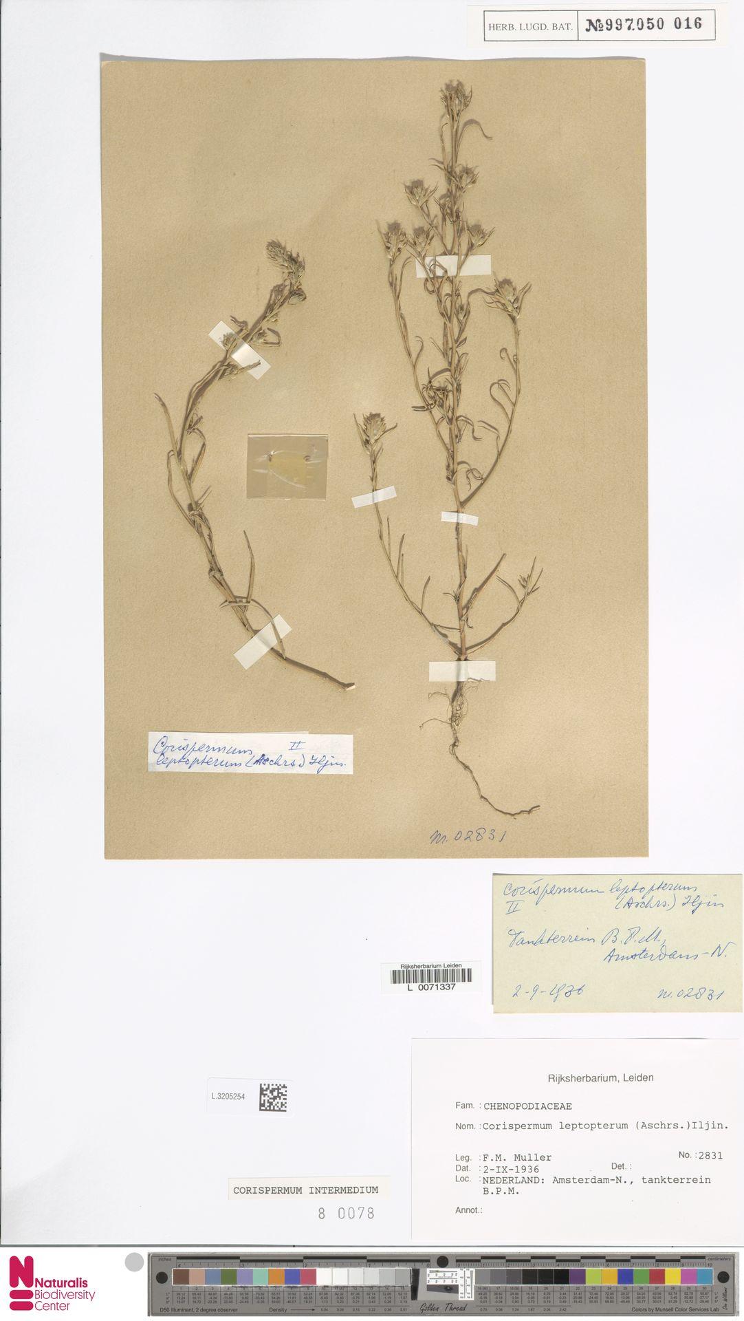 L.3205254 | Corispermum intermedium Schweigg.