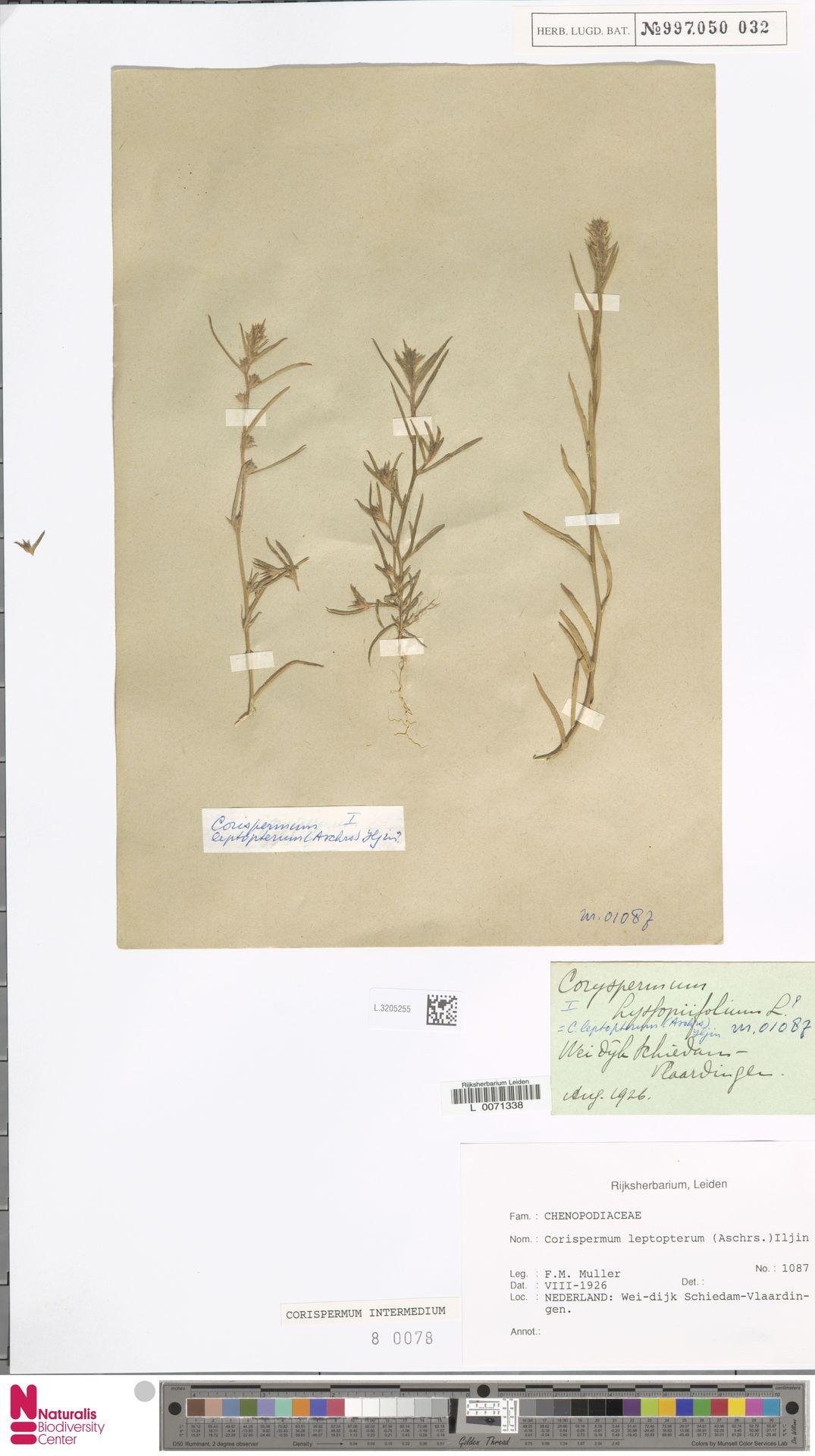 L.3205255 | Corispermum intermedium Schweigg.