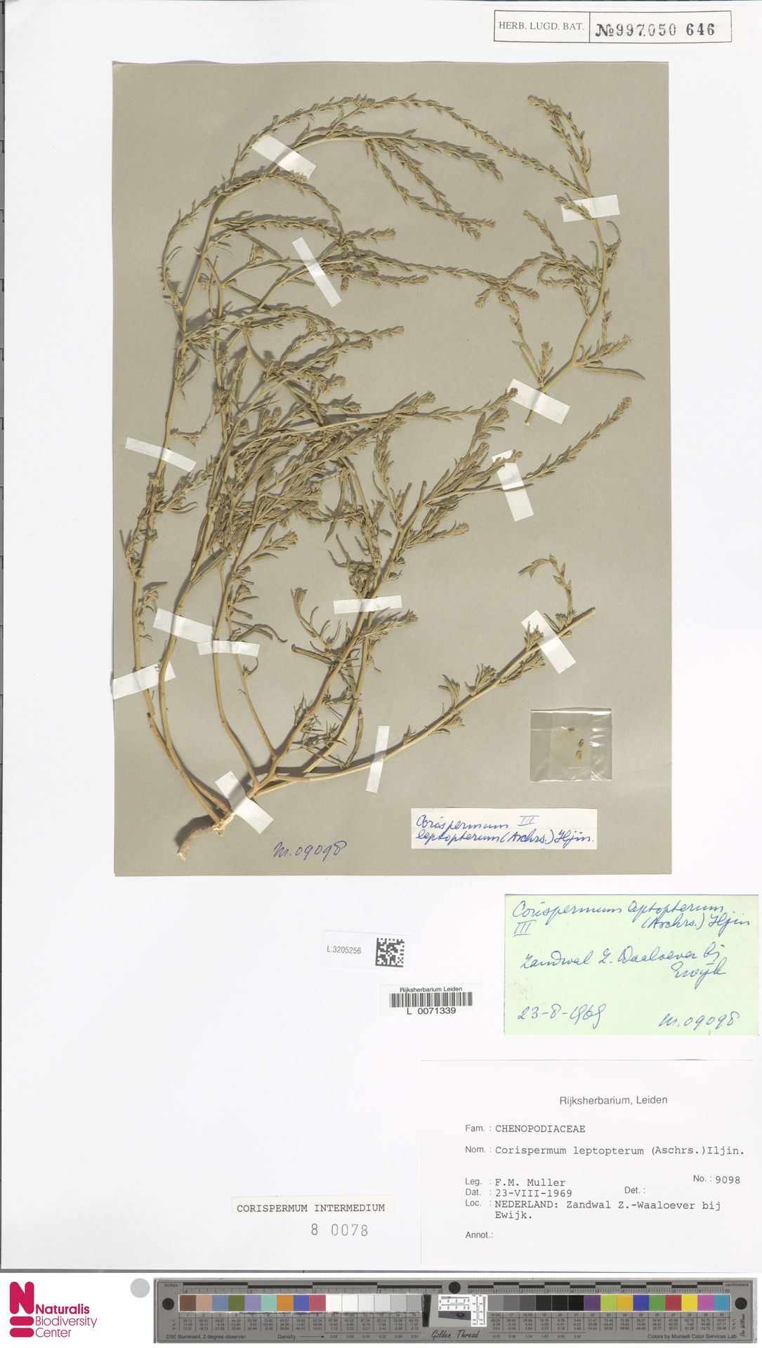 L.3205256 | Corispermum intermedium Schweigg.