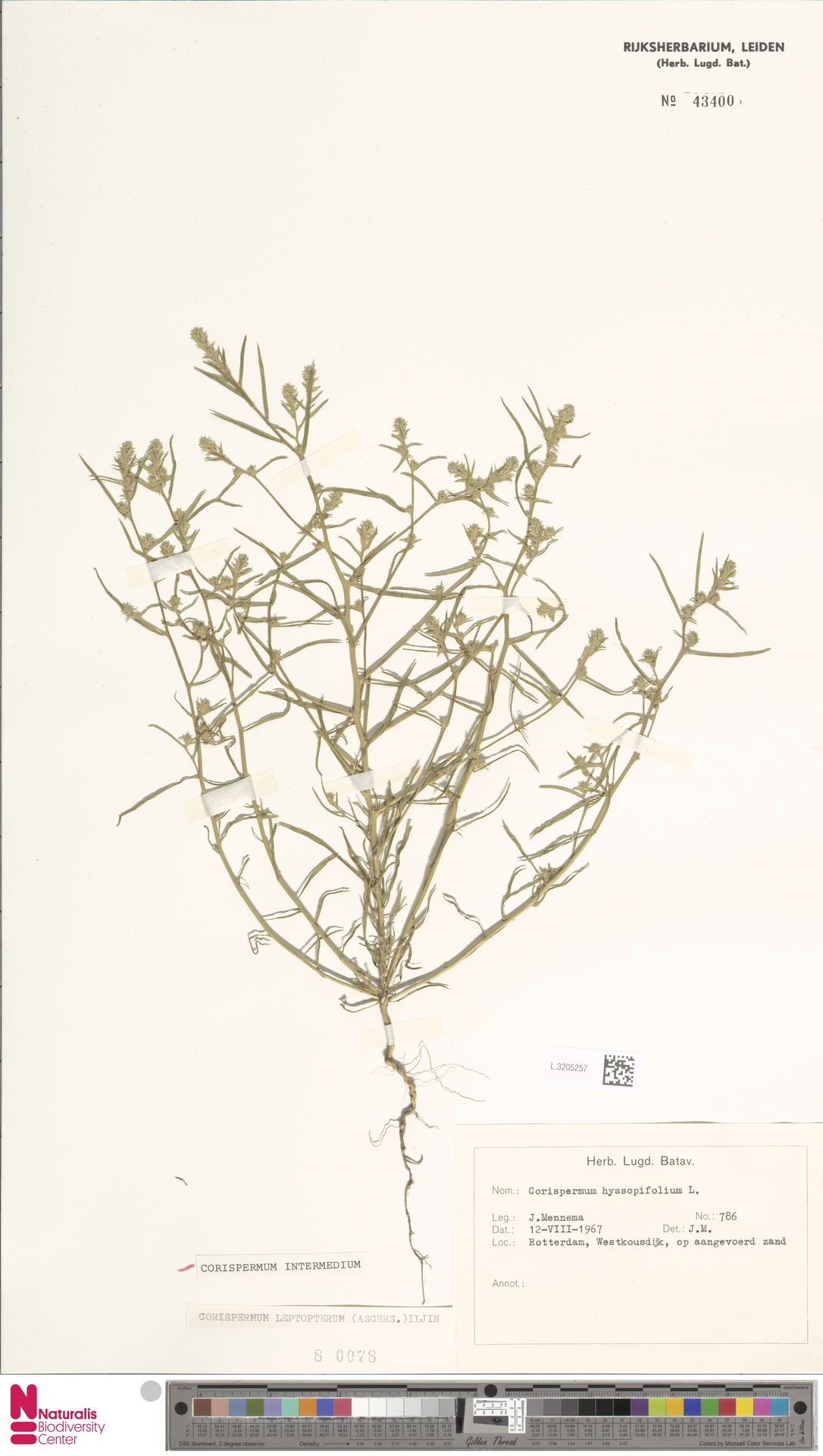 L.3205257 | Corispermum intermedium Schweigg.