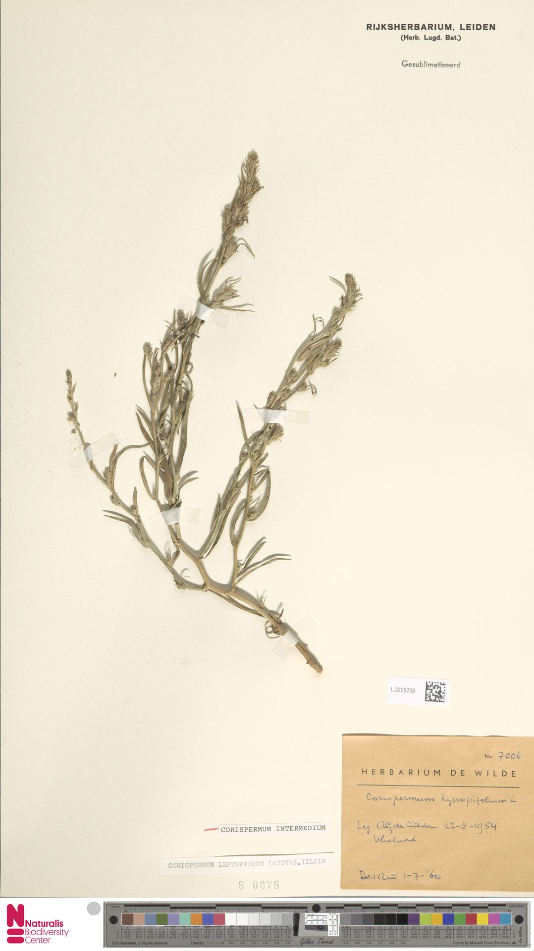 L.3205258 | Corispermum intermedium Schweigg.