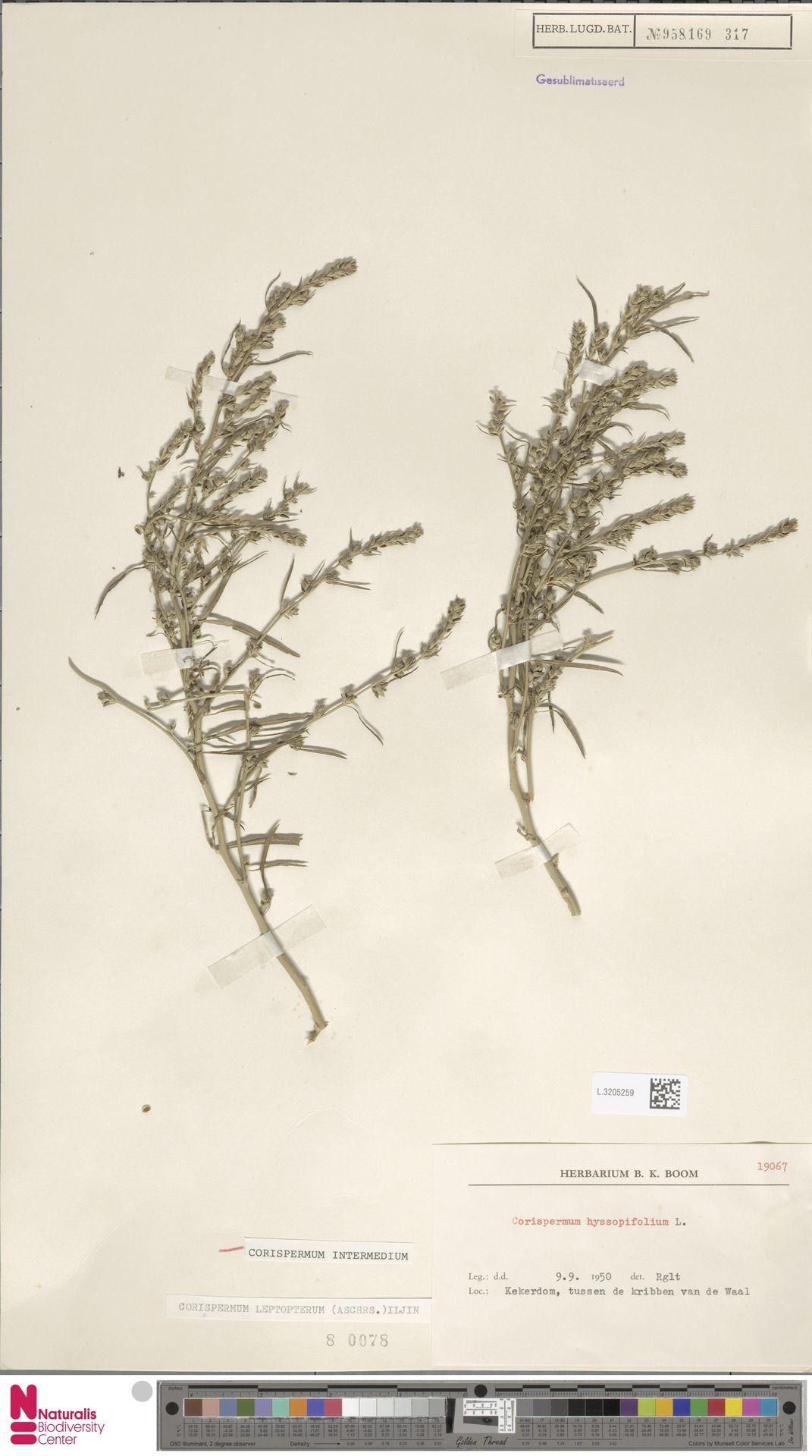 L.3205259 | Corispermum intermedium Schweigg.
