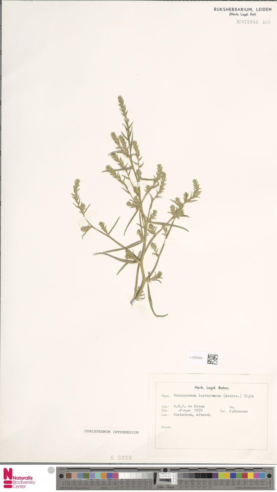 L.3205263 | Corispermum intermedium Schweigg.