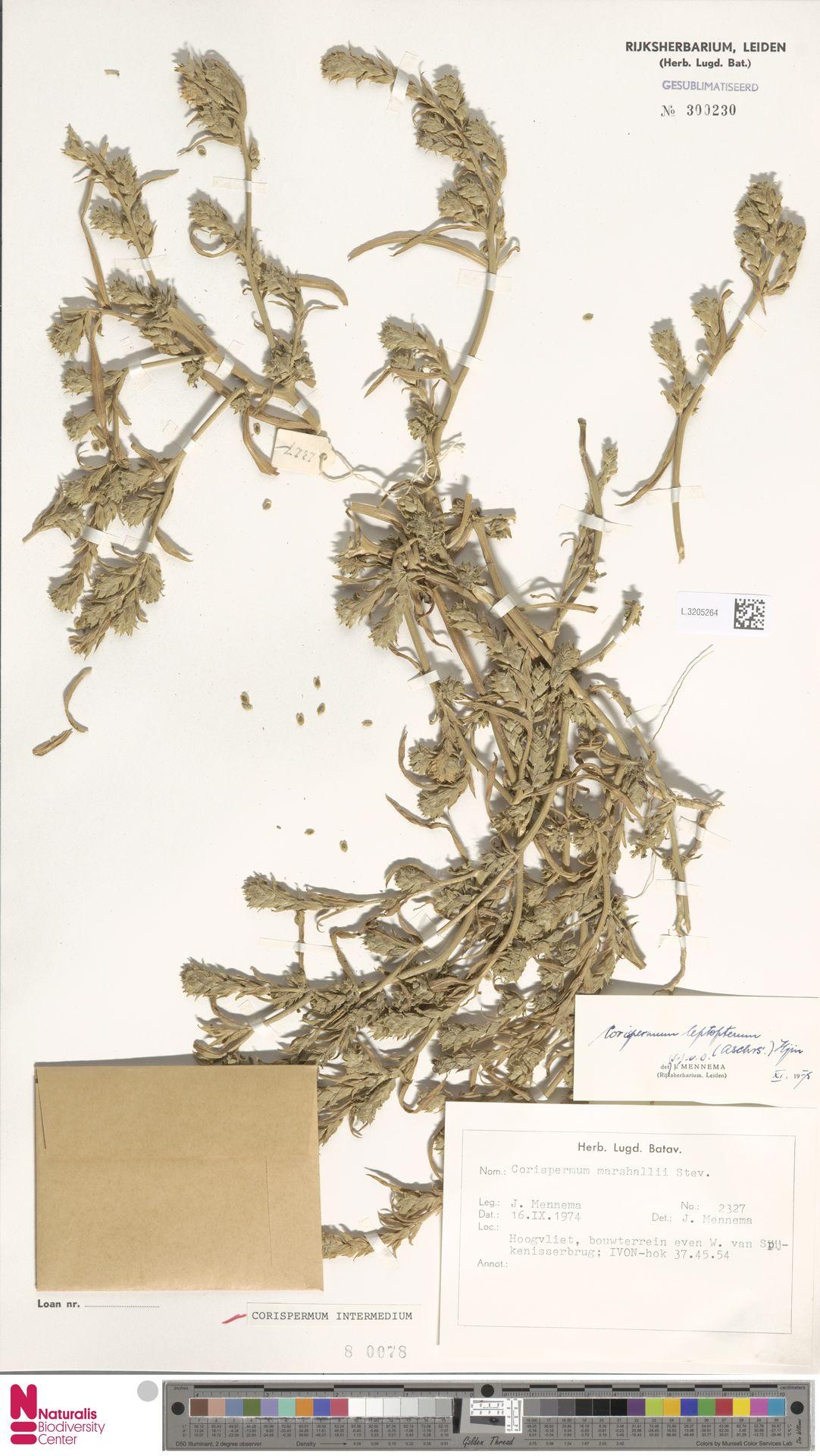 L.3205264 | Corispermum intermedium Schweigg.